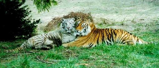 ots_tigers.jpg